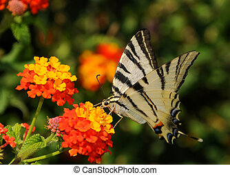Scarce Swallowtail (Iphiclides podalirius) - A butterfly...