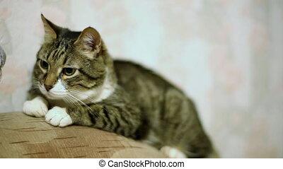 Yawning cat. - Senior cat (17 y.o.) in the sofa.