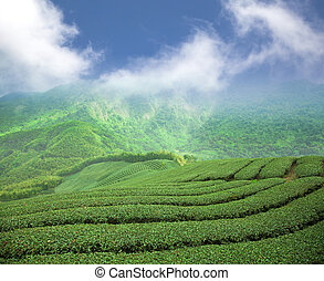 tea plantation on the high mountain valley