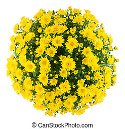 Chrysanthemum - Bunch of chrysanthemum, white isolated...