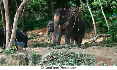 Thai taxi - Elephant for riding Phuket, Thailand
