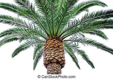 棕櫚, 白色, 樹, 被隔离, 背景