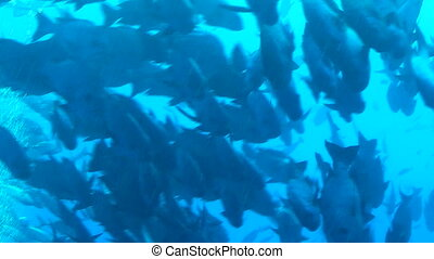 School of fish - Fish swimming around a reef in Palau,...