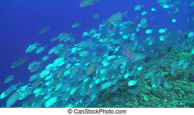 School of Jacks - Jack or Trevally Carangidaefish, swimming...