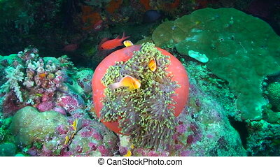Clown Fish - Many Pink Clown Fish swimming in and around an...