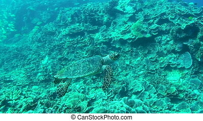 Sea Turtle - Green sea turtle, the Hawksbill Turtle swimming...