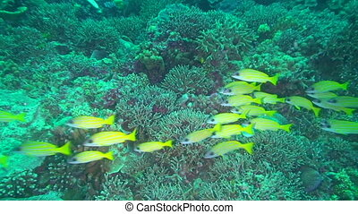 Yellow Reef Fish - School of yellow fish swimming in Palau,...