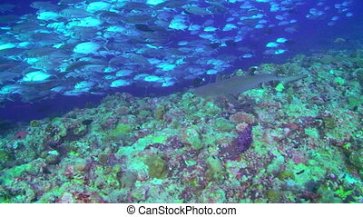 Whitetip Reef Shark and Jacks - Whitetip Reef Shark and a...