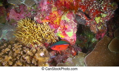 Red Reef Fish - Fish swimming around a reef in Palau,...