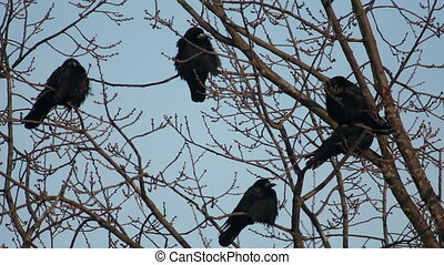 Ravens on tree