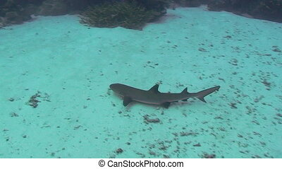 Whitetip Reef Shark in Palau, Micronesia
