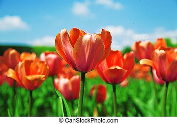 field with red tulips on a background blue sky in a sun day