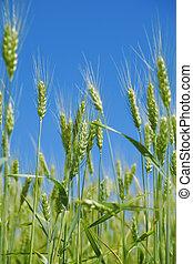 campo, verde, trigo, Antes, Cosechar, Plano de fondo, claro,...