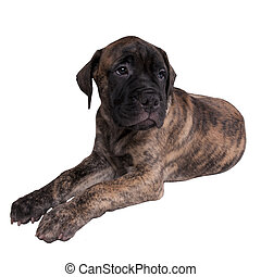 Sad bullmastiff puppy