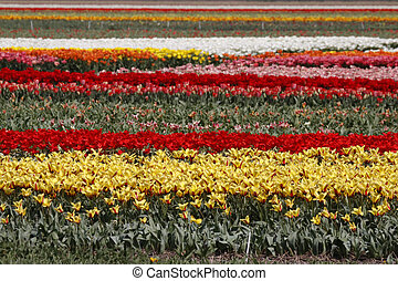 Tulip field in spring, Netherlands - Tulip field in spring,...