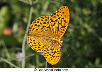 Silver-washed fritillary, Argynnis - Silver-washed...