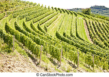 Italy - Piedmont region. Barbera vineyard - Barbera vineyard...