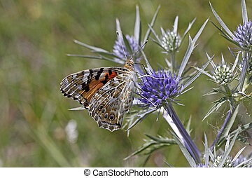 Painted Lady butterfly Vanessa cardui on amethyst sea holly...