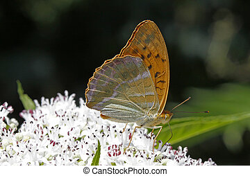 Argynnis paphia on a elder bush - Argynnis paphia,...