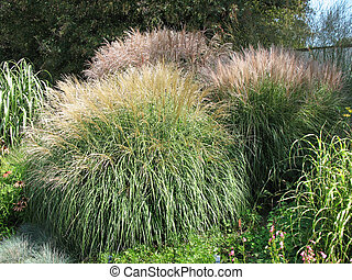 Shrubs Miscanthus, family Meadowgrass