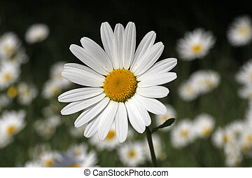 Leucanthemum vulgare, Oxeye daisy, Marguerite in Germany