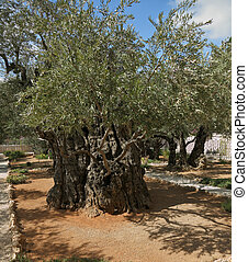 Garden of Gethsemane - The great city of Jerusalem. Garden...