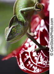 Chameleon on flower - Chameleons belong to one of the best...