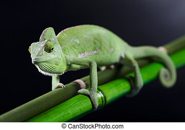 Chameleons belong to one of the best known lizard families...
