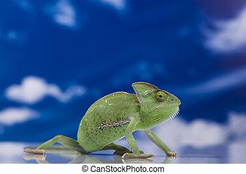 Dragon, Green chameleon - Chameleons belong to one of the...