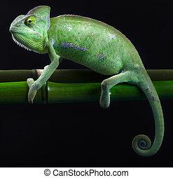 dragão, verde, camaleão
