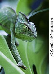 dragón, verde, camaleón