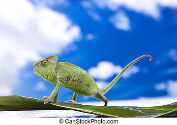 Chameleon on the blue sky - Chameleons belong to one of the...