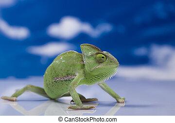 Chameleon on the blue sky - Chameleons belong to one of the...