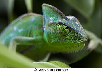 Chameleon on the leaf - Chameleons belong to one of the best...