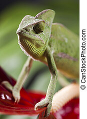 Colorful Chameleon - Chameleons belong to one of the best...