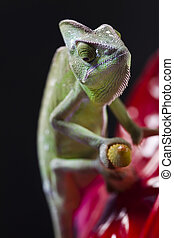 Lizard families, Chameleon - Chameleons belong to one of the...