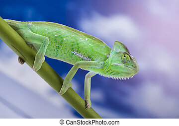 lagarto, familias, camaleón