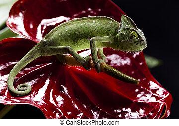 Chameleon on flower - Chameleons belong to one of the best...