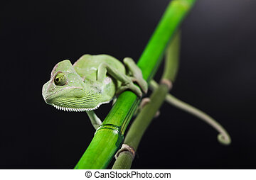 Lizard - Chameleons belong to one of the best known lizard...