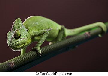 Green animal, Chameleon - Chameleons belong to one of the...