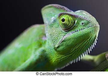 Green animal, Chameleon - Chameleons belong to one of the...