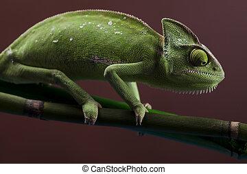 Chameleon and flower - Chameleons belong to one of the best...