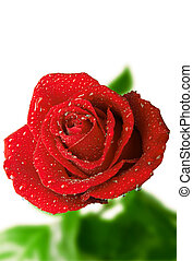 fresh scarlet rose in the drops of dew on a white background