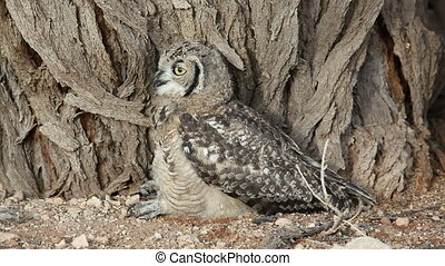 Spotted eagle-owl Bubo africanus with large yellow eyes,...