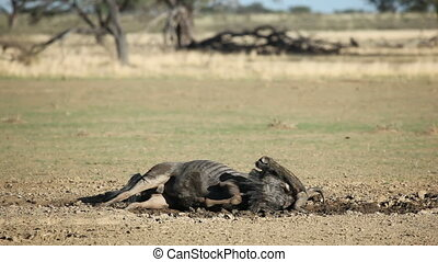 Blue wildebeest playing - Blue wildebeest (Connochaetes...
