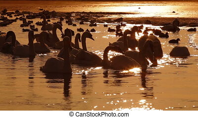 Flock of Mute Swans at Winter Lake - Flock of Migrating Mute...