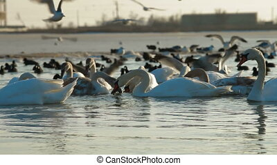 Flock of Migrating Mute Swans at Frozen Winter Lake Crimea,...