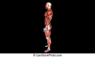 The Human Body Muscle Animation. Loop. Alpha