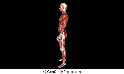 The Human Body Muscle Animation. Loop. Alpha Matte