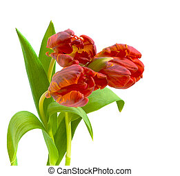 red tulips on a white background